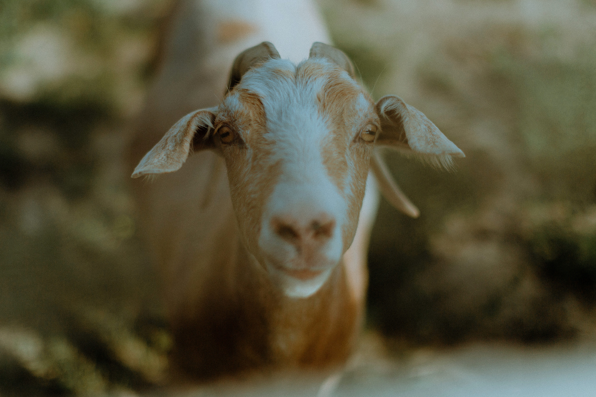 Goat at South Pond Farms Venue in Bethany Ontario